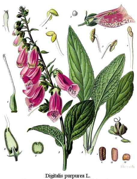 external image Digitalis%20purpurea.jpg
